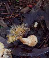 muerte de Amanita muscaria