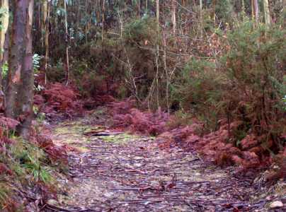 Bosque Amanita muscaria