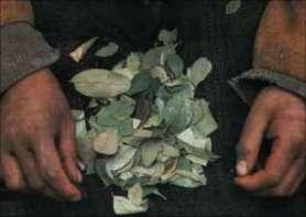 Hojas de coca que los incas utilizaban como oráculo y como alimento sagrado