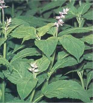 Salvia divinorum plantas y alcaloides visionarios for La salvia en la cocina